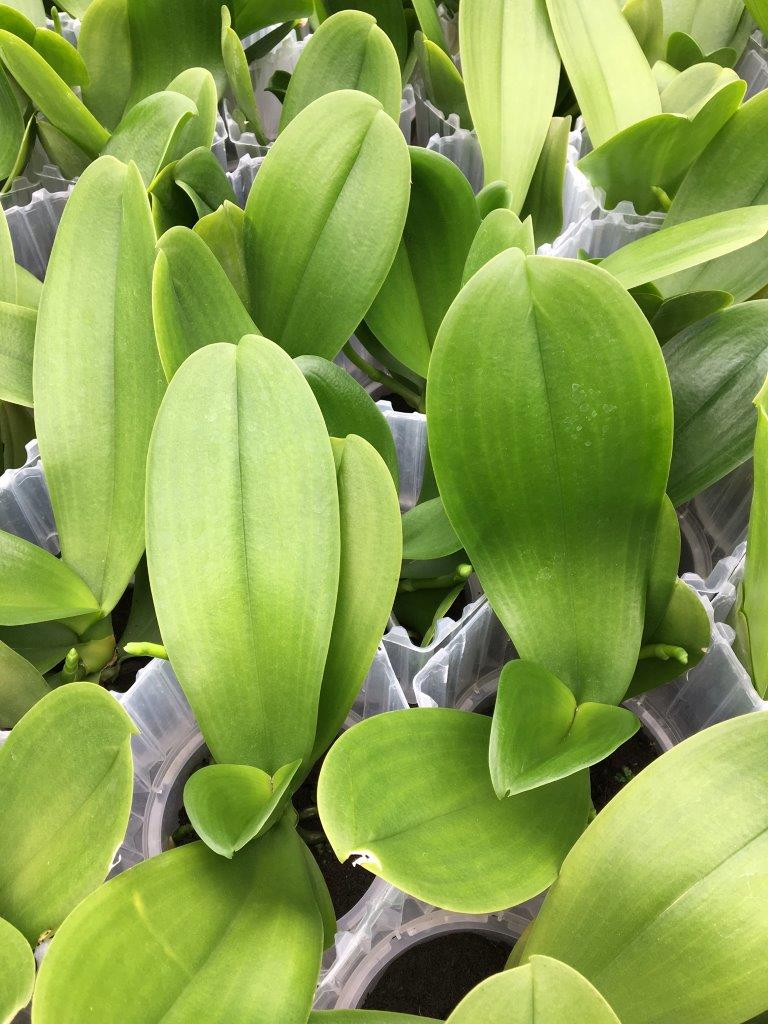 Xcellent 12cm Xtra+ Plug® (Phaleanopsis)