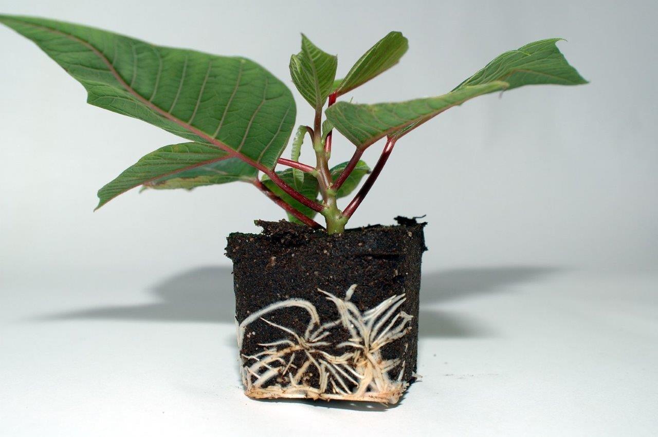 Xcel Plug® - Poinsettia