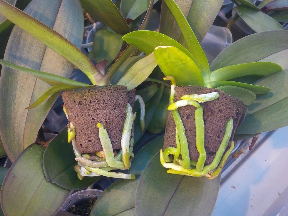 Xcellent Shoe Plug® - Phaleanopsis
