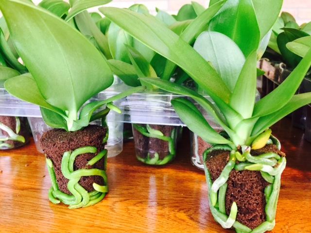 Xcellent Shoe Plug® (Phaleanopsis 20-weeks old)