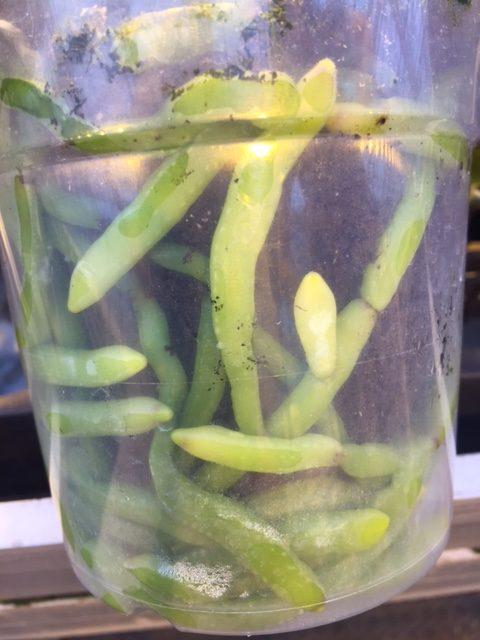 quickplug-phaleanopsis14